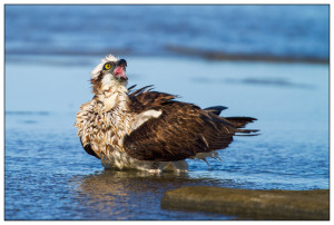 Osprey-Shelly-Beach-Sunshine-Coast-Australia