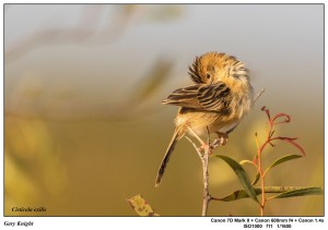 Golden-headed-Cisticola- Non-Breeding-Plumage