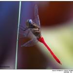 Fiery-Skimmer-Dragonfly-Australia
